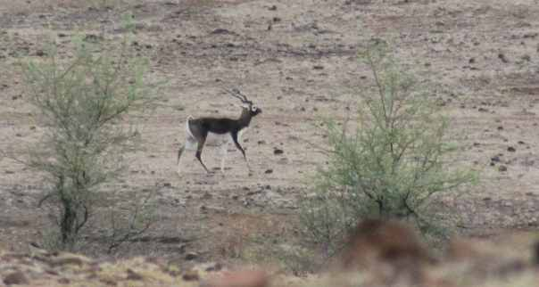 Adult black buck