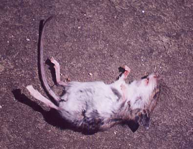 Road kill - mouse?