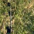 Video | Newborn bear cubs stuck on a tree top – Momma bear to the rescue