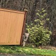 Snoqualmie neighborhood hot spot for Coyote sightings: 7 reports in one day, 3-year old attacked on front porch
