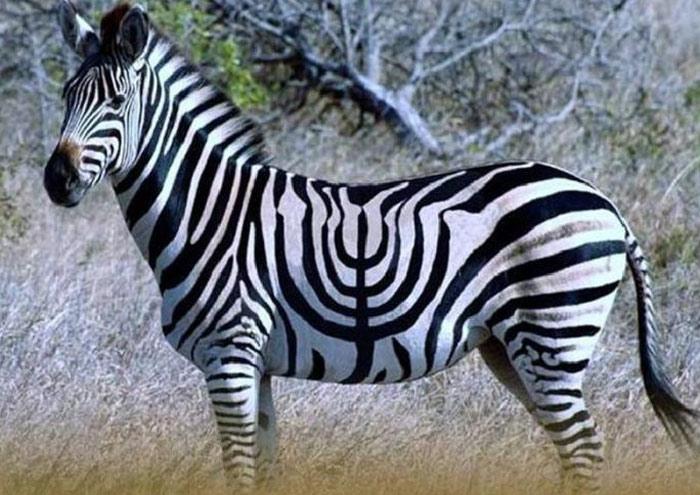Jewish Zebra