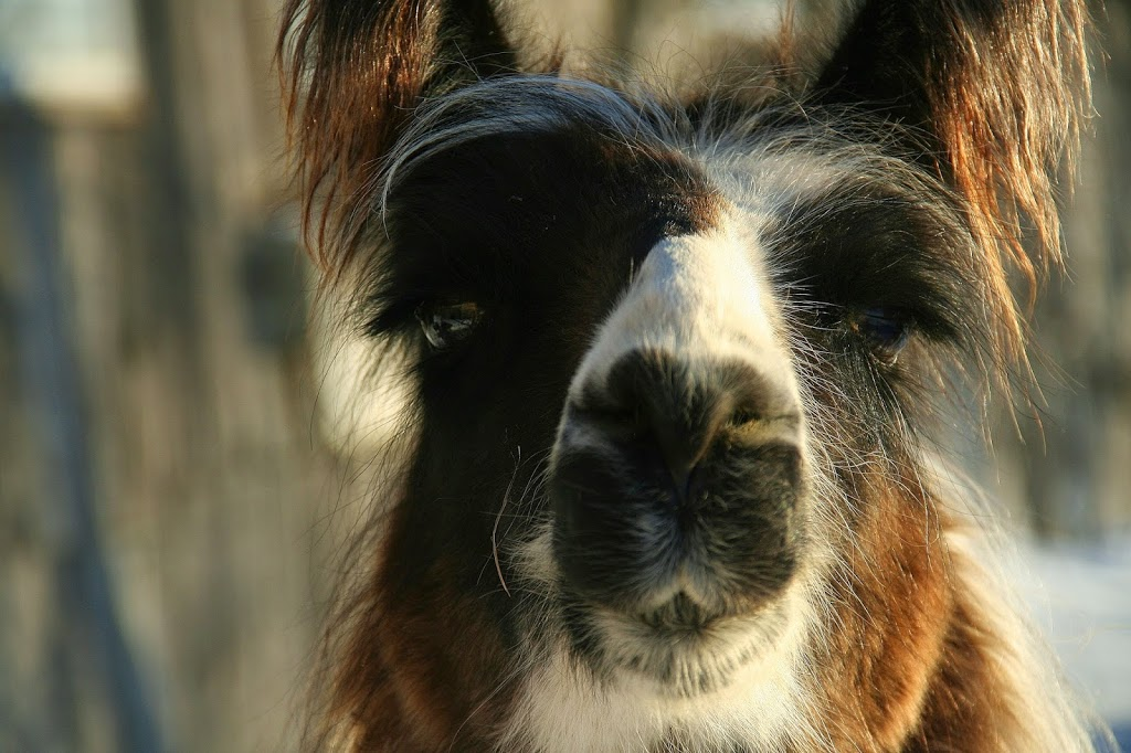 Llama Ears