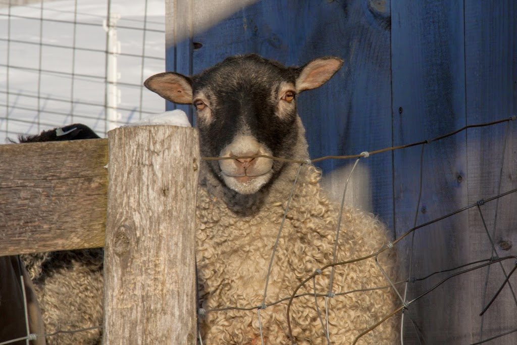 Vermont's First Flock of Gotland Sheep-The Rams