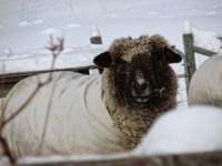Romney Sheep at Grand View Farm
