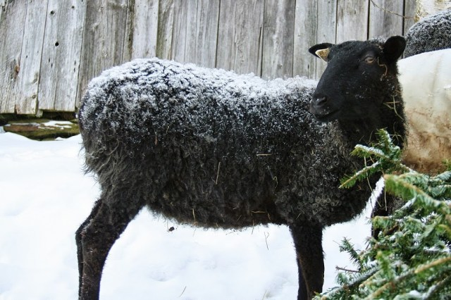 Gotland Sheep at Grand View Farm