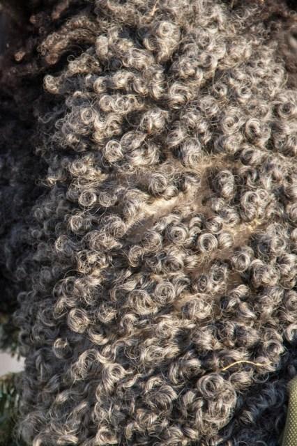 Gotland Curls