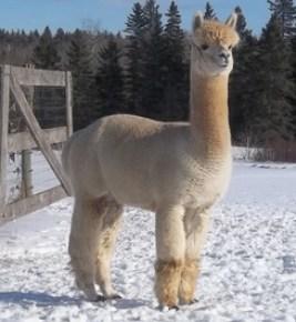 Snowshoe Farm Alpaca