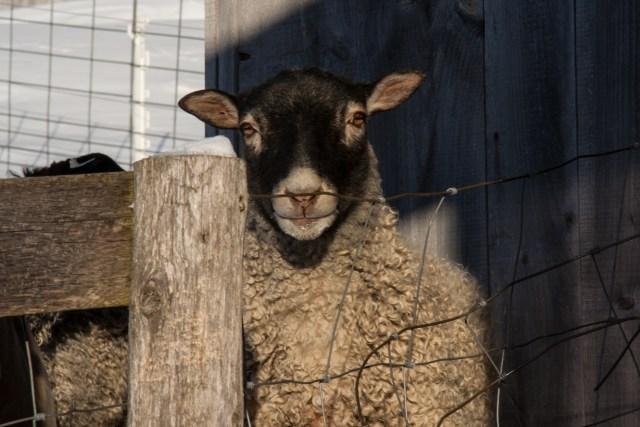 Gotland Ram