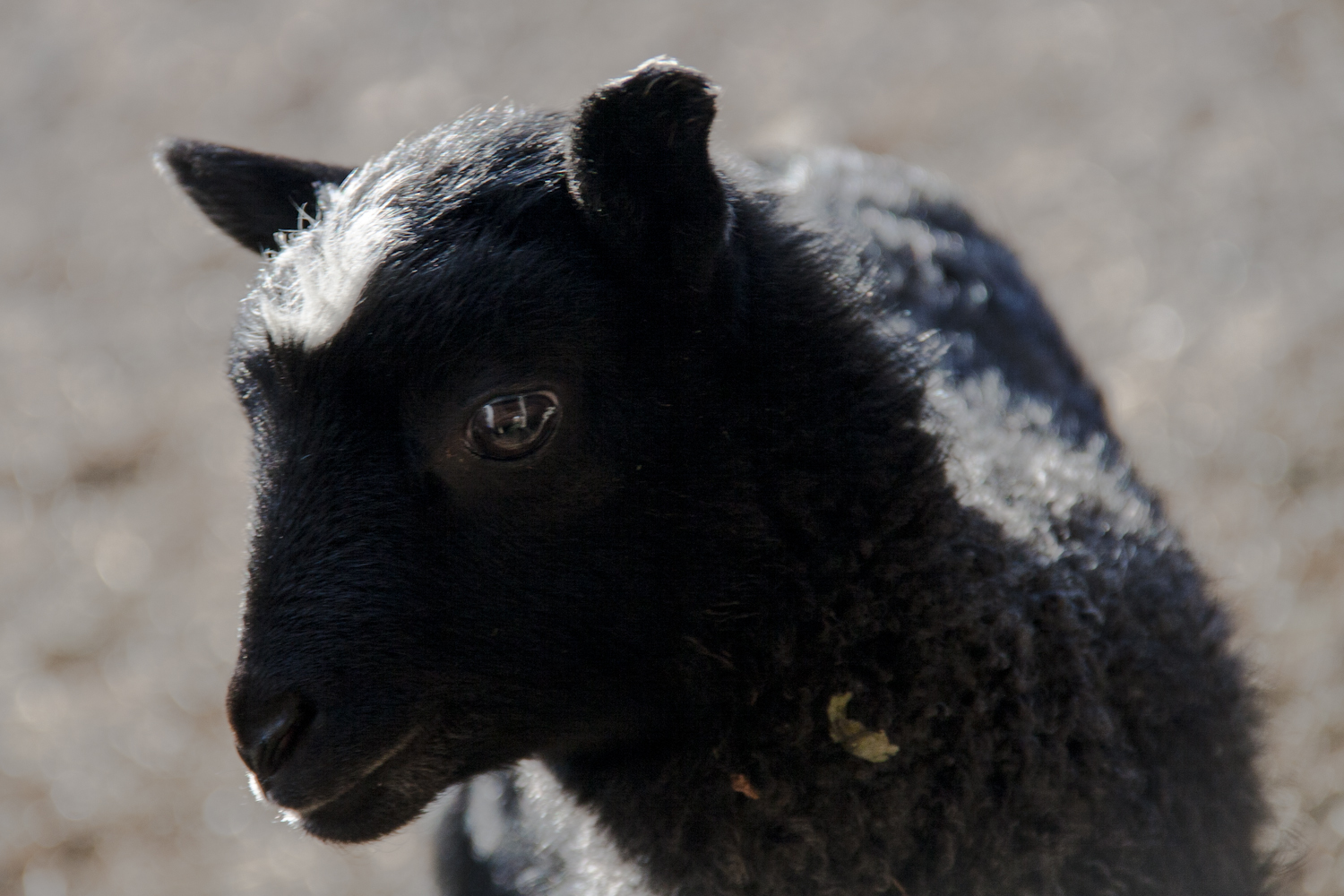 Vermont's First Gotland Lambs