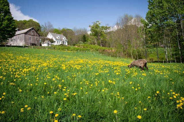 Spring Grazing at Vermont Grand View Farm