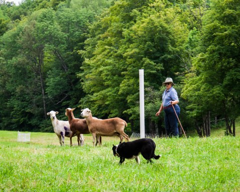 Sheep Dog Trial in Vermont