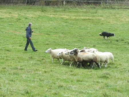 sheep dog training