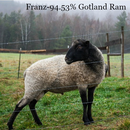 Franz-Gotland Ram VT Grand View Farm
