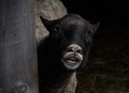 Gotland ram at breeding