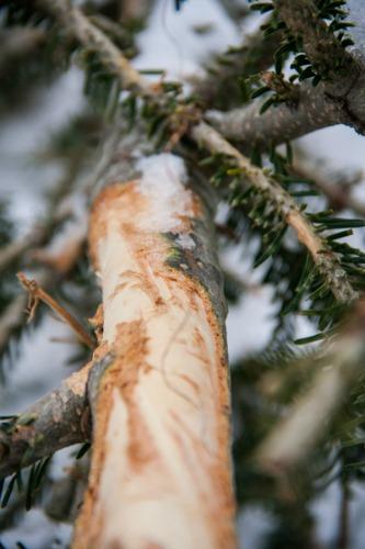 Sheep strip bark from pine tree.