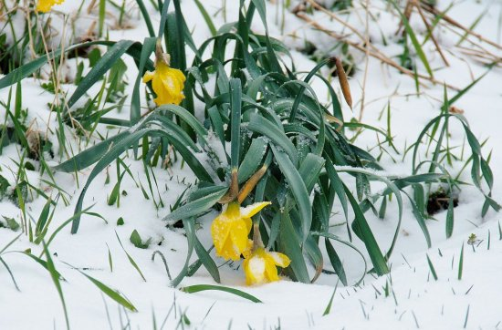 Droopy daffodils this snowy April day.