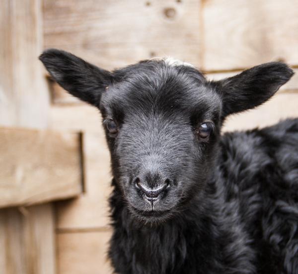 Kendrick Gotland Ram Lamb