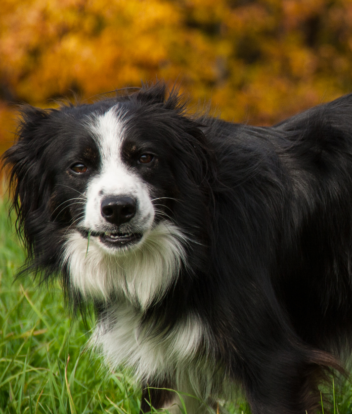 Border Collies- a Good Fit for Your Family?