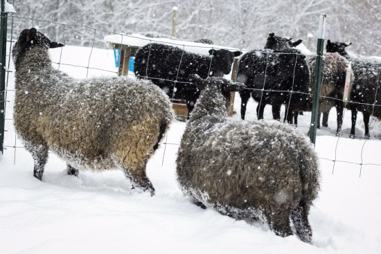 sheep in paddock snow by Anna Goodling