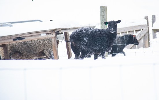 Sheep and Winter Storms