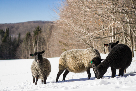 With their warm winter fleeces, the Gotlands adapt to Vermont winter.