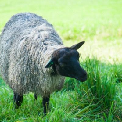 Kamila's lamb fleece