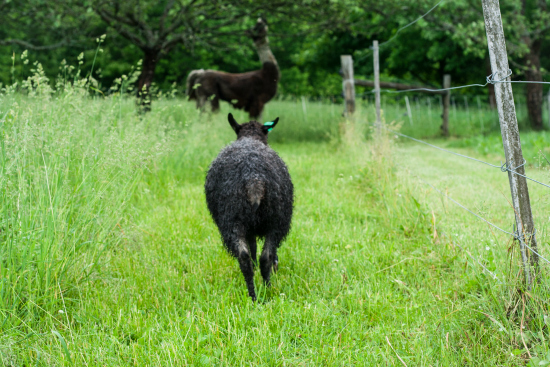 Gotland Ewe Lamb