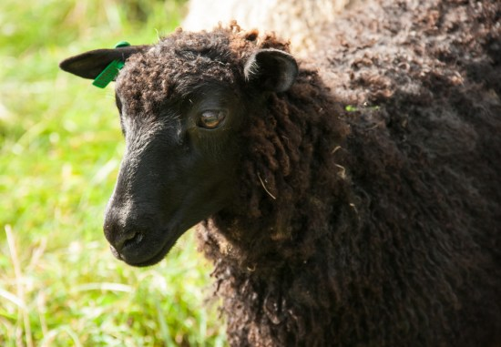 Gotland ram lamb for sale
