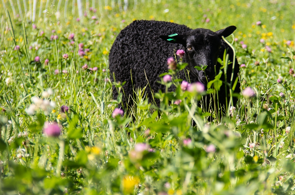 Photograph Framed Sheep Springtime Northern Ireland farm Mounted Lamb Shepherd gift gift for farmer Spring Lambs farm scene