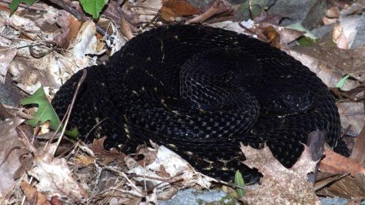 Black timber rattlesnake