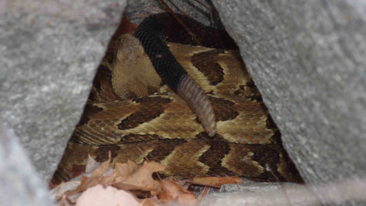 Timber rattlesnake in cover