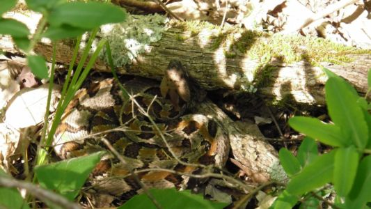 Timber rattlesnake hunting