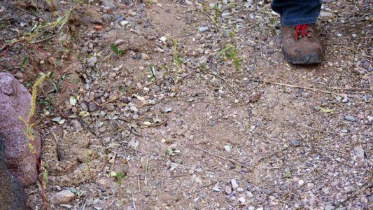A hiker pauses near a western diamondback rattlesnake