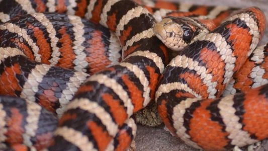 One of our most beautiful natives, the Sonoran mountain kingsnake