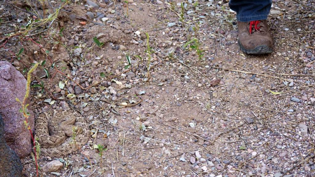 A hiker steps near Henry, a Western Diamond-backed Rattlesnake, at a trailhead.