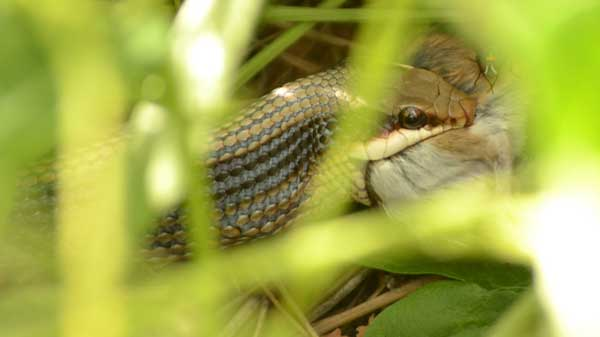 patch-nosed snake eating a rodent