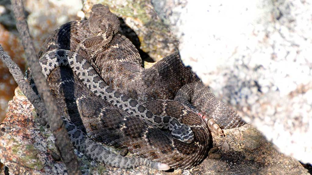 Priscilla with House (Arizona Black Rattlesnakes)