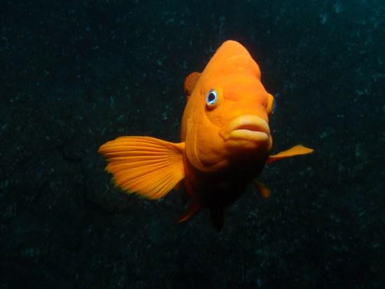 Garibaldi damselfish - Hypsypops rubicundus