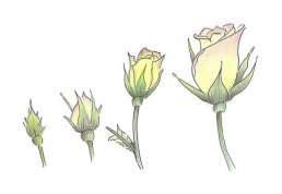 Roses in coloured pencil