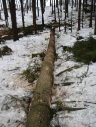 Maibaum Umschneiden 12.02.2005 - 30