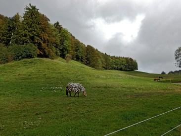 im Jura Gebirge gibt es Zebras, schon gewusst?