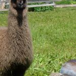 guard llama, llama with woodchuck