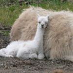 newborn llama