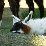 sleeping baby llama