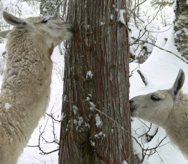 foraging llama in winter, trees, willow