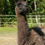 old llama