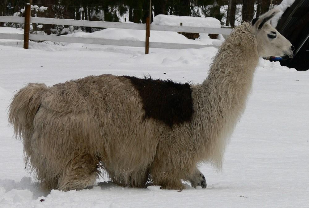 Llamas in Deep Snow