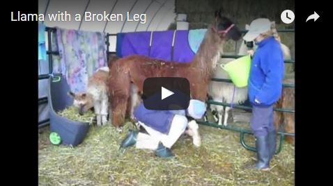 caring for sick and injured llamas and alpacas
