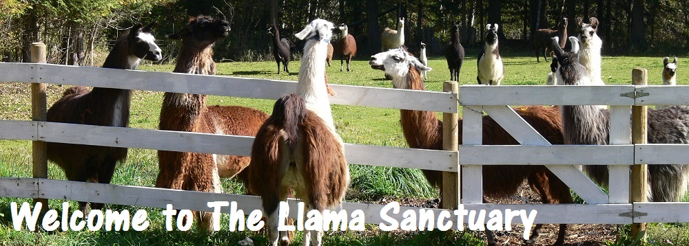 llama and alpaca rescue in canada