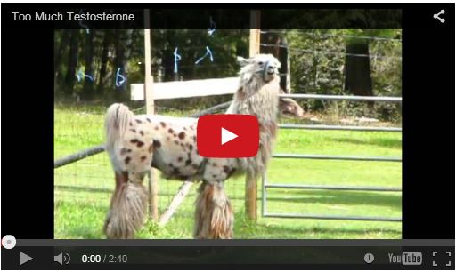 videos of llamas and alpacas having fun